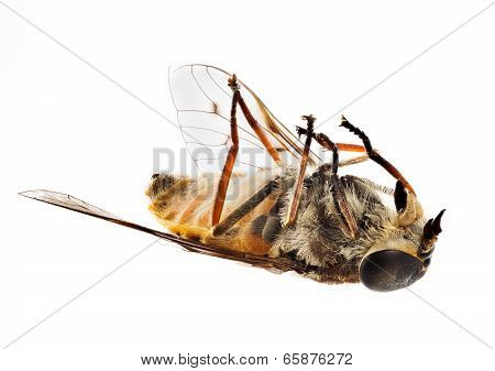 Dead Bee Or Fly Lying On Back In Macro