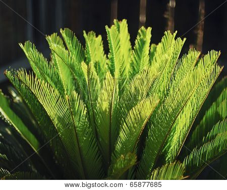 Sago Palm Leaves.