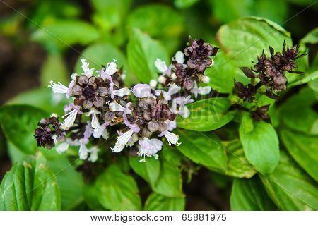 Ocimum basilicum Linn