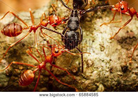 Red Weaver Ants Teamwork