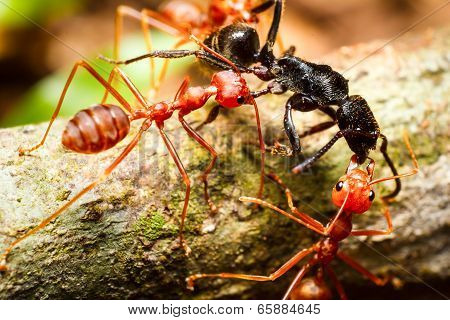 Red Weaver Ants Teamwork