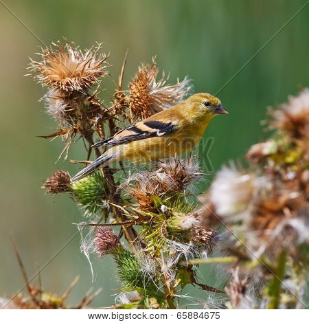 American Goldfinch On Thistle Plant