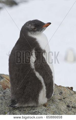 Gentoo Penguin Chick Sitting Near The Nest 1
