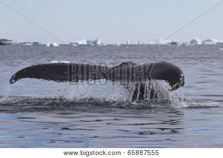Humpback Whale Tail That Dives 2