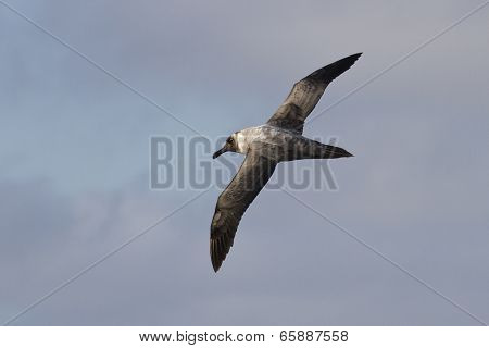 Light-mantled Sooty Albatross Flying Against The Blue Sky 1