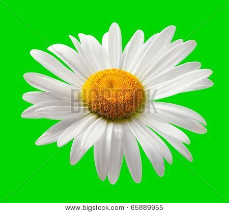 Chamomile Isolated On Green Background