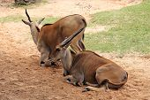 stock photo of eland  - Two young eland bull resting on the sand - JPG
