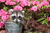pic of scared baby  - A Baby Raccoon hiding in a small bucket - JPG