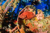 pic of grouper  - Coral Grouper on a coral encrusted underwater ship wreck - JPG