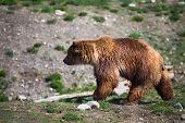 stock photo of grizzly bear  - Full body profile of a big female Grizzly bear - JPG