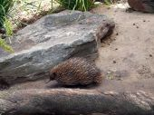 stock photo of ant-eater  - The echidna is the Australia equalivant of the ant eater - JPG