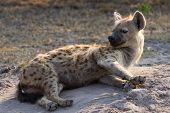 pic of hyenas  - Sleepy hyena lay down on the ground to rest in morning sun - JPG
