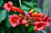stock photo of trumpet flower  - Trumpet honeysuckle flowers of pink orange and yellow - JPG