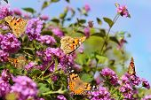 foto of butterfly-bush  - small colony of butterflies of the family Nymphalidae on a flowering bush - JPG