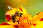 stock photo of marigold  - A bee pollinating a marigold  - JPG