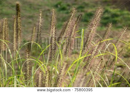 Foxtails In A Field