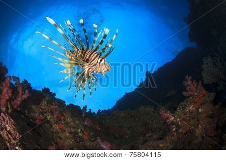 Lionfish on underwater coral reef
