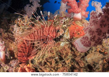 Clearfin Lionfish in corals
