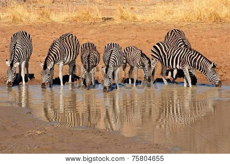 Plains Zebras (Equus burchelli) drinking water, Pilanesberg National Park, South Africa