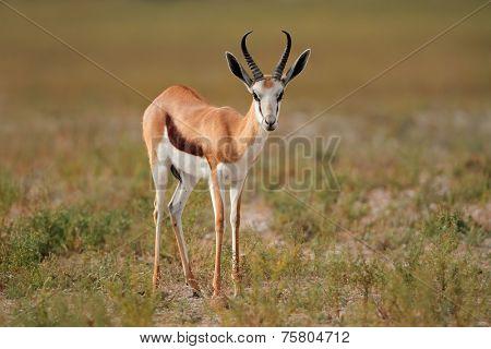 Springbok antelope (Antidorcas marsupialis) in natural habitat, South Africa