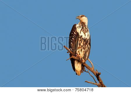 Immature African fish-eagle (Haliaeetus vocifer) perched on a branch against a blue sky, South Africa