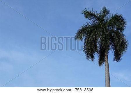Plam Tree With The Blue Sky