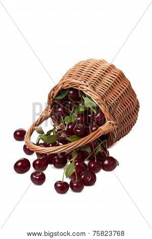 Ripe cherry gets enough sleep from the fallen wattled basket