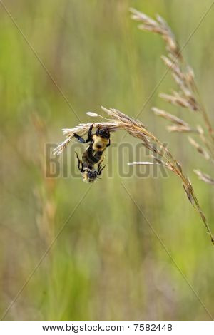 Queen Bee & Drone Mating (genus Bombus)