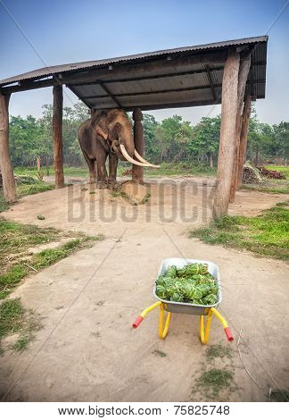 Elephant With Food In Nepal
