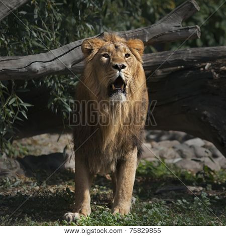 Prowling Asian lion with open chaps is coming out of the forest.