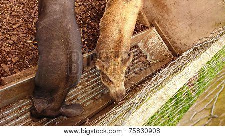 The boar in the pen