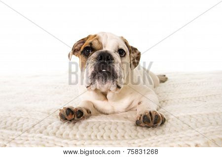 Young Little French Bulldog Cub Lying On Bed At Home Looking Curious At The Camera