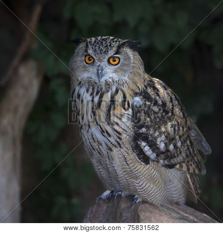 A screech owl great night hunter. Asio otus long-eared owl very dangerous raptor.
