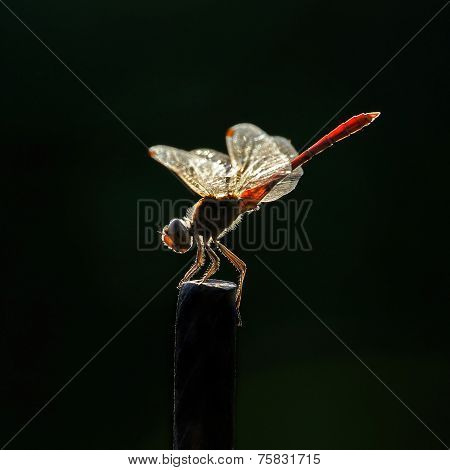 Dragonfly On A Dark Background