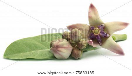 Medicinal Crown Flower