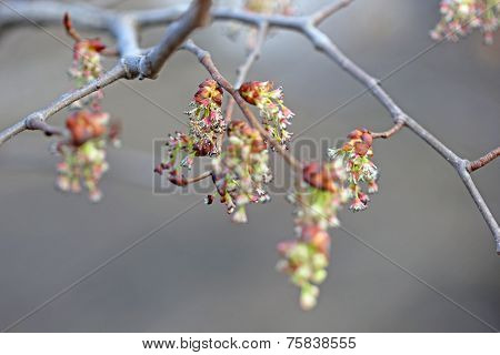 Female flowers of maple ash