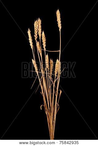 wheat isolated on black