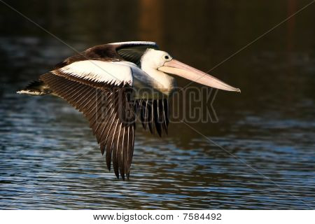 Australian Pelican in flight.