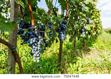 Pinot Of Ripe Merlot Grapes