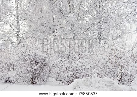 trees and shrubs snowbank