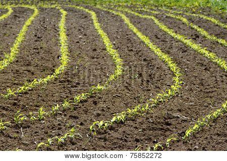 Corn rows growing in soil