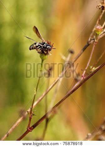 Wasp on Wildflower