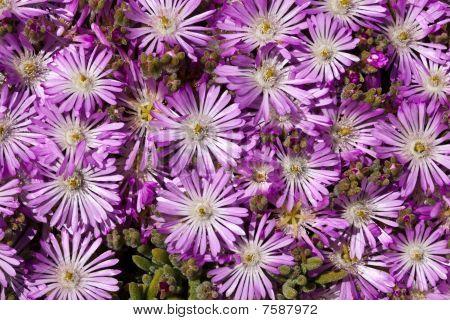 Plant Delosperma Purple Ice Plant (  Delosperma cooperi).