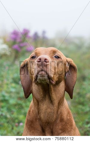 Vizsla Dog (hungarian Pointer) In A Field.