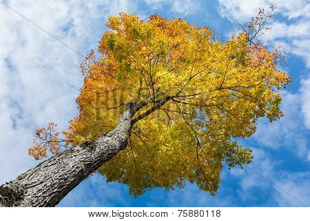 Maple Tree With Yellow And Orange Leaves In Autumn