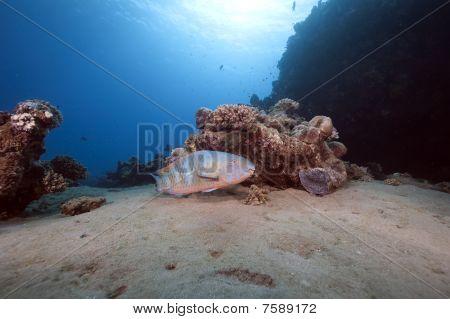 Parrotfish, Ocean And Sun