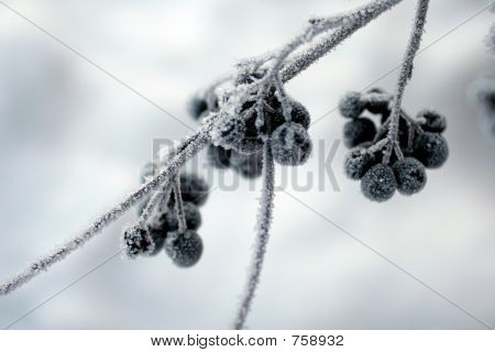 blue berries frosted