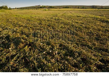 Alfalfa Field Just Cut