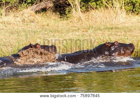 Two Fighting Young Male Hippopotamus Hippopotamus