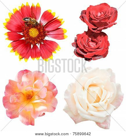 Set Of Rose And Gaillardia Flowers Isolated